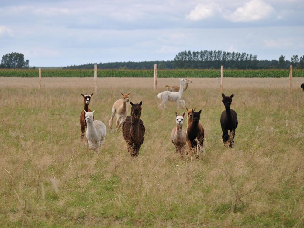 Alpakaherde-auf-Weide