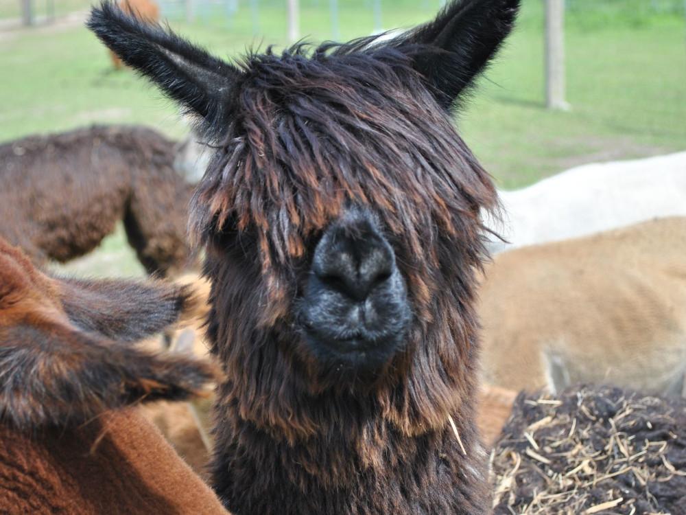 Dunkles-Alpaka-mit-Fell-vor-den-Augen